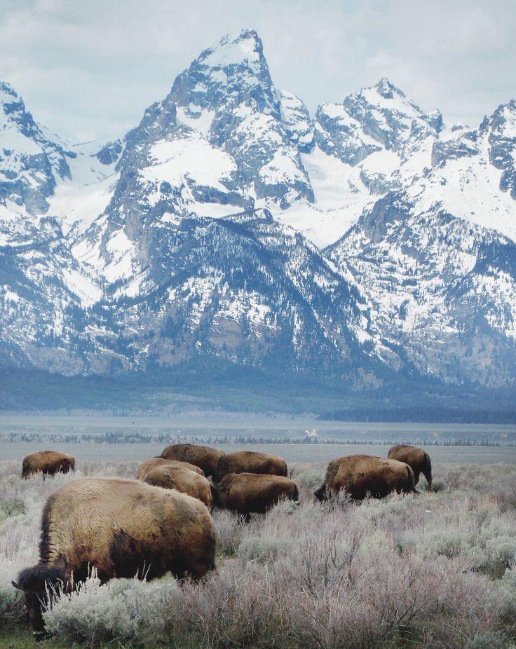 : Buffalo, Animal Photography, Bison, Teton National Parks, Grand Teton National, Posts, Geographil, National Parks Wyoming, Snowy Mountain