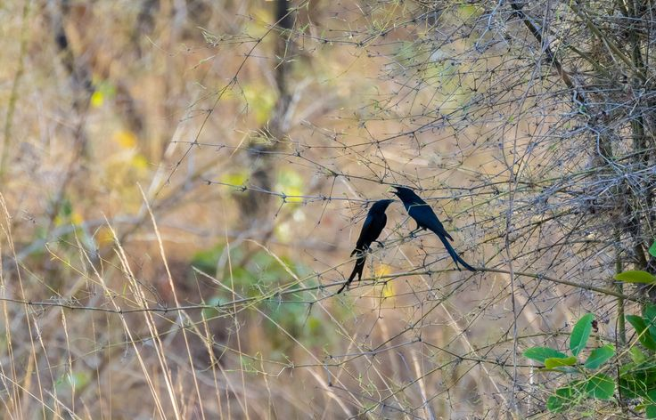 siddharthx posted a photo:  The black drongo (Dicrurus macrocercus) is a small Asian passerine bird of the drongo family Dicruridae. It is a common resident breeder in much of tropical southern Asia from southwest Iran through India and Sri Lanka east to southern China and Indonesia. It is a wholly black bird with a distinctive forked tail and measures 28 cm (11 in) in length. It feeds on insects, and is common in open agricultural areas and light forest throughout its range, perching…