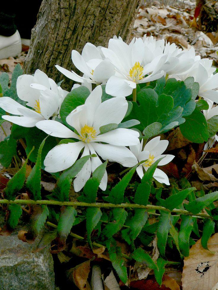 26 best images about native plants on pinterest