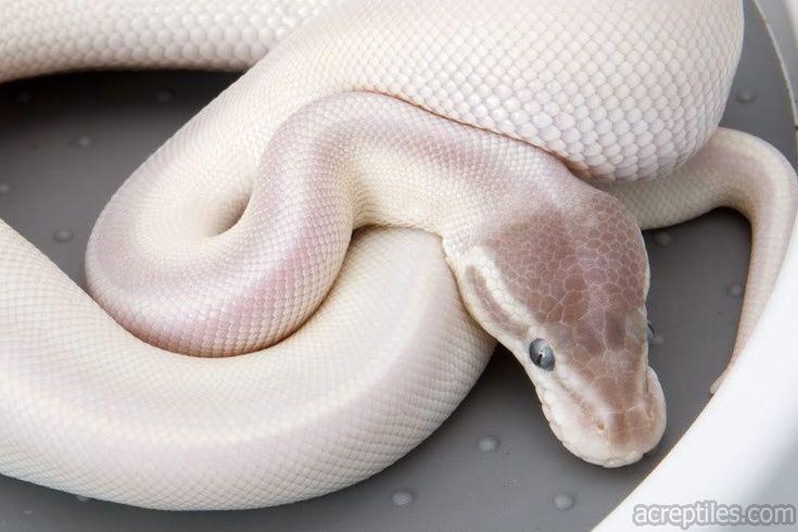 Blue Eyed Leucistic Ball Python