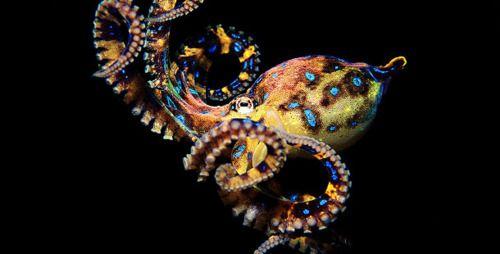 Yellow Blue Ringed Pus #octopus