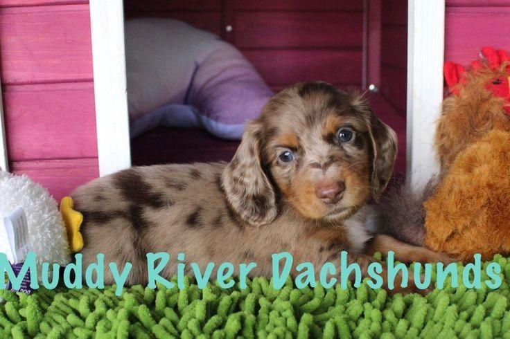 Dachshund Puppy Miniature By Dog Love On Dachshund Dachshund Breed Dachshund