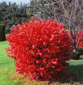 Цветущие кустарники для дачи бересклет