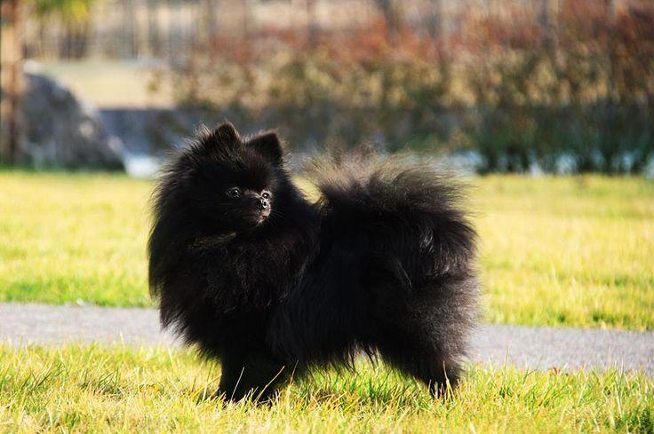 Black Pomeranian in the garden on February.
