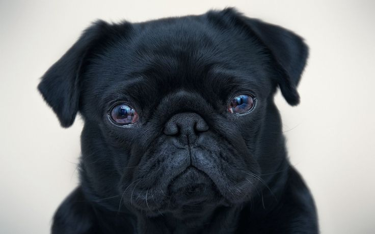 Pug Iphone Wallpaper: 25+ Beautiful Pug Wallpaper Ideas On Pinterest