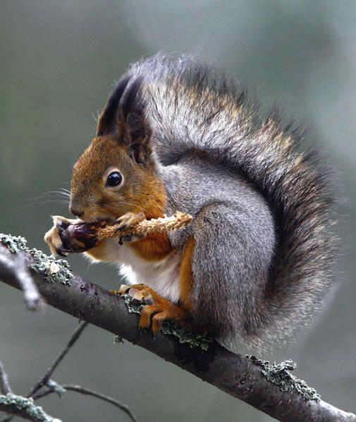 Nu på vintern vräker ekorren i sig kottefrön. Kurre behöver bränsle för att hålla värmen under kalla och korta dagar. Favoritmaten är dock hasselnötter.