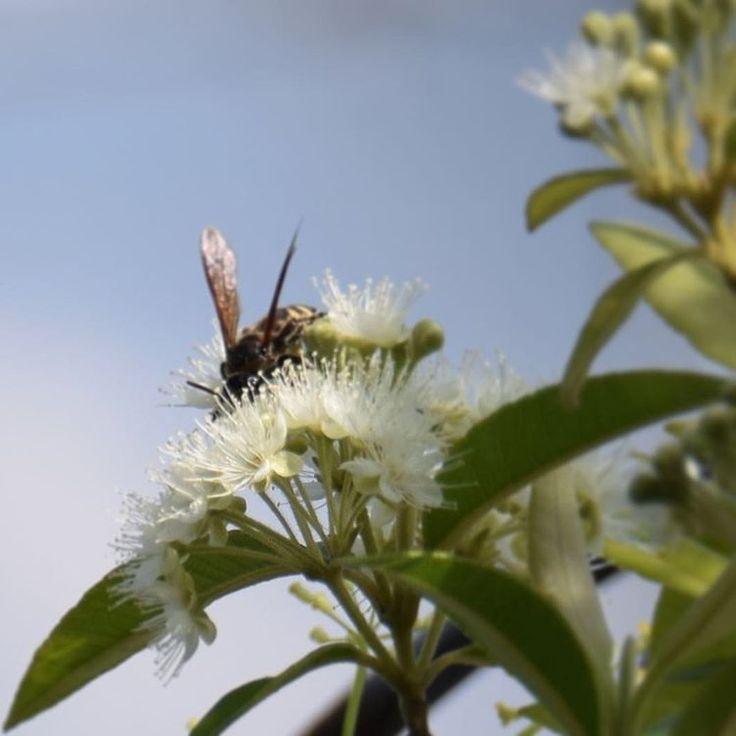 Morning🌿🍃 #lemonmyrtle#bloom#horsefly#summerday#inmygarden#nature#nature_brilliance#naturelovers