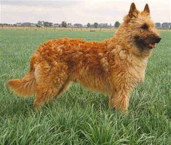Belgian Laekenois - The rarest of the four Belgian Sheepdog breeds, the Belgian Laekenois is a very bright and obedient dog. It is determined and observant with strong protective and territorial instincts