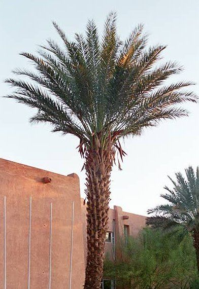 Date Palm Tree Picture, Date Palms