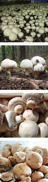 Как самостоятельно разводить и выращивать грибы шампиньоны в домашних условиях самому. Как своими руками вырастить богатых урожай шампиньонов без особых затрат - Вырастить белый гриб