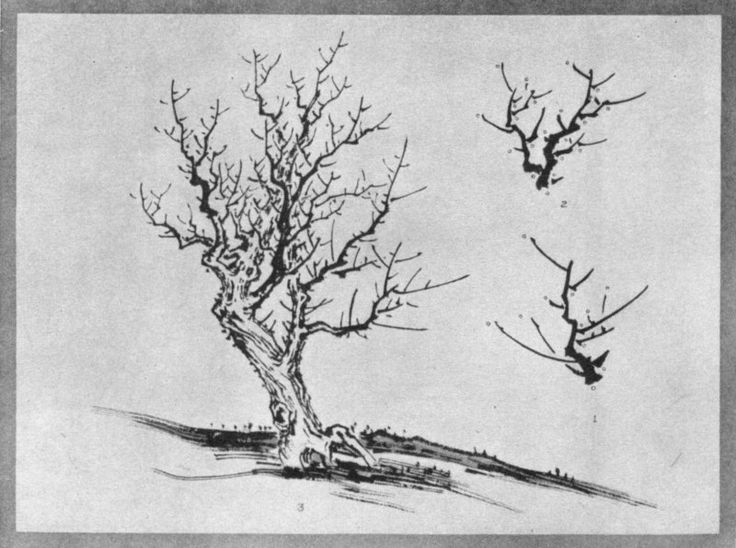 Skeleton of a Forest Tree (1) Same Developed (2). Tree Completed in structure (3). Plate XXIX.