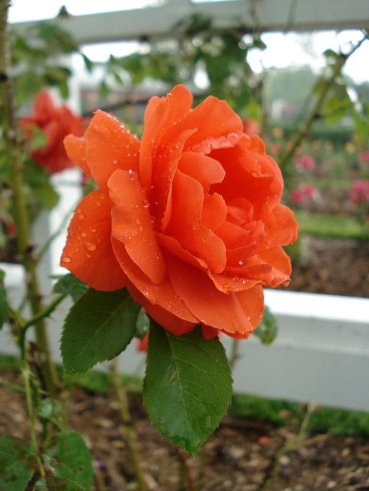 Orange Garden Rose: 29 Best Diane's Roses Images On Pinterest