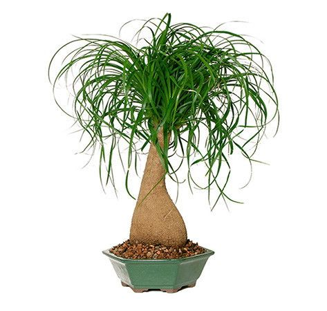 Home décor ideas, office décor idea, gift idea, patio decoration - this amazing Ponytail Palm Bonsai Tree is for sale and you can own it today! See more bonsai trees for sale at www.nurserytreewholesalers.com!