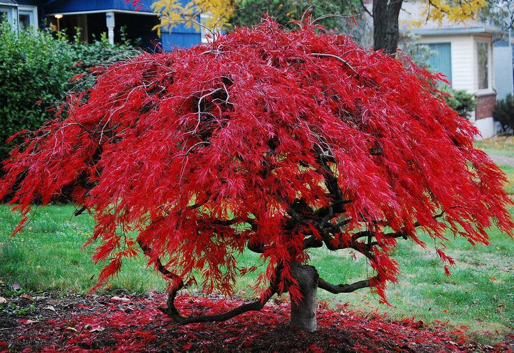 Japanese maples are known for not only beautiful form, small and manageable size, but for colour options.