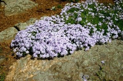 Creeping Phlox Planting Instructions: Tips For Growing Creeping Phlox - Creeping phlox produces a colorful spring carpet of soft pastel hues. Little expert knowledge is needed on how to plant and care for creeping phlox. That being said, this article can help with its cultivation.