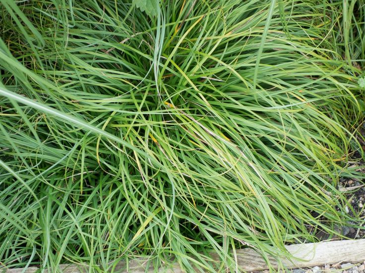 Nauhuri.com  Carex Bronze Reflection ~ Neuesten Design ...