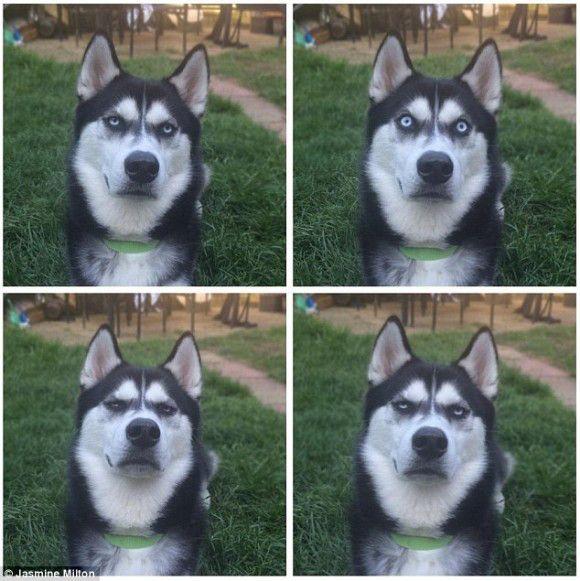 記事提供:カラパイア 今海外のネット上にて話題を呼んでいるのが、英国、バッキンガムシャーにお住いの、シベリアンハスキーのアヌコ氏(オス)だ。触るものみな傷つけるめいた、悪人ヅラをしている。 だが彼がこんな形相になったのもわけがある。飼い主のミルトン、アリスバーリー(18)さんが、彼を人間不信に陥らせ