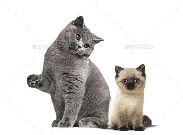British Shorthair Cat And Kitten Sitting Against White Background British Shorthair Cats Cats And Kittens British Shorthair