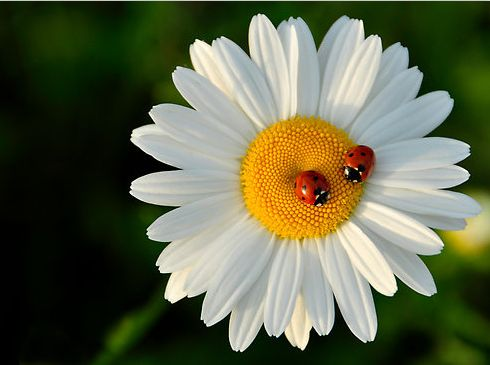 Ladybugs having a conversation on a daisy