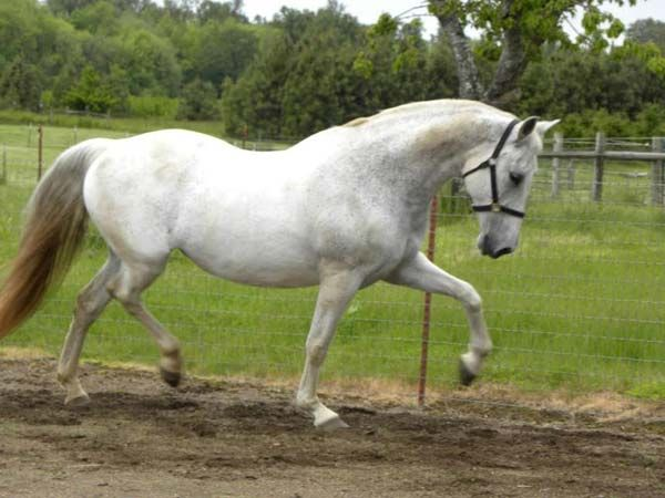 Grey Andalusian Mare, Mario Contreras Bred PRE Mare in Oregon. DreamHorse.com is the premier horse classifieds site with horses for sale, lease, adoption, and auction, breeding stallions, and more.