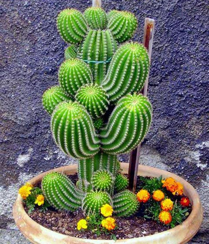 precioso cactus