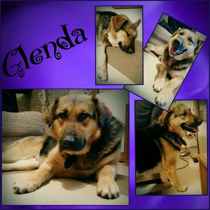 Unserer bildhübsche Glenda ist gut auf ihrer tollen Pflegestelle in Frankfurt angekommen. Sie ist gespannt auf ihre eigene Familie  Glenda ist 2 Jahre alt und  eine  perfekte Familienhündin  total aufgeschlossen und freundlich. Sie mag Kinder und auch Katzen und andere Hunde findet sie toll. Glenda läuft gut an der Leine und ist stubenrein.  Sie hat eine Schulterhöhe von 58 cm und wird nur nach VK und mit Schutzvertrag vermittelt.   Anfragen bitte NUR telefonisch Mo-Di u. Do-Sa unter 49 162…