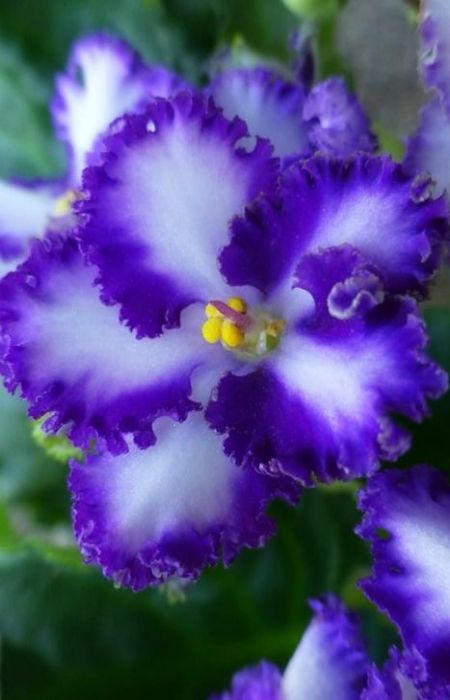 ~ African Violet ~ I love the edges of the petals on this one