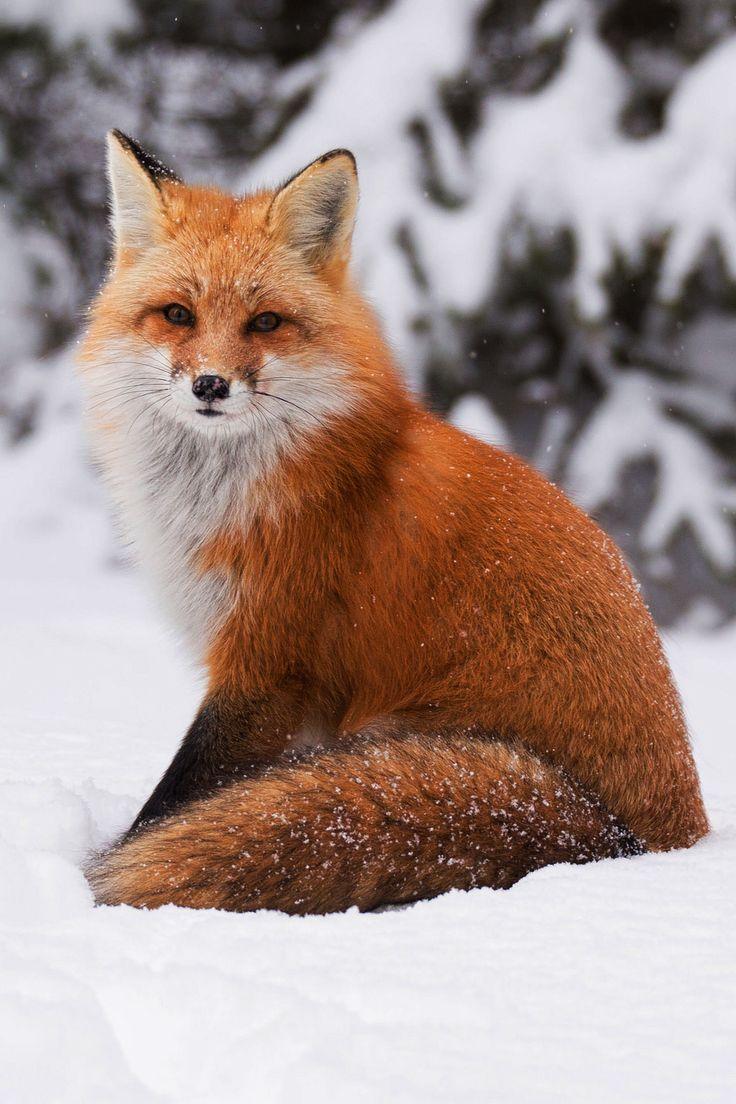 "lsleofskye "" Red Fox posing in Algonquin Park "" Pet fox"