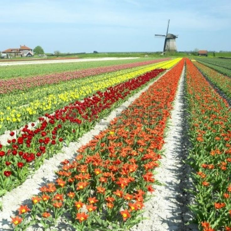 windmill and tulip field 98 best holland