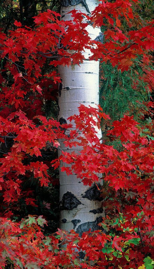 Aspen and Mountain Maple in autumn, Caribou Mountains, south east Idaho