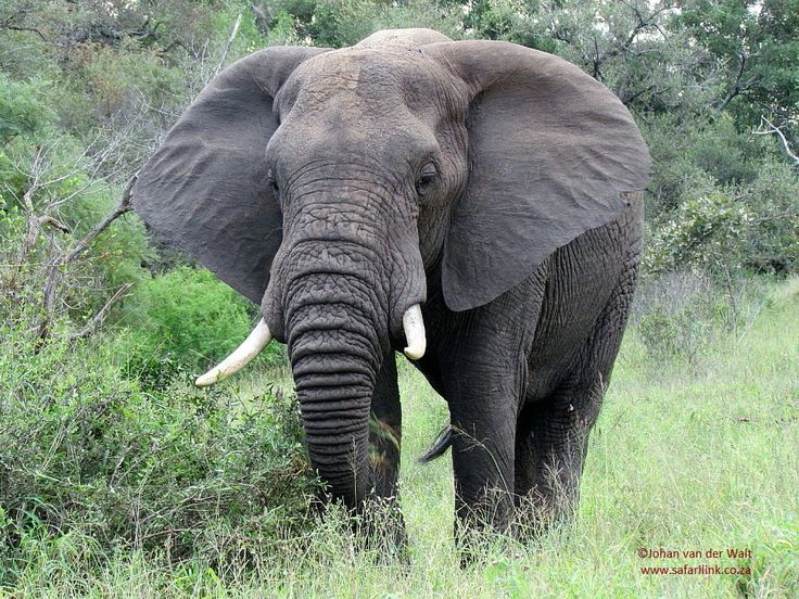 #Elephants are of the most intelligent #animals on #earth. The brain of an elephant weighs 5kgs, much more than the brain of any other land animal.