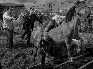 Dentro de los espéctaculos está la Feria de ganado que se celebra el 7 de julio desde las 7 de la mañana hasta las 3 de la tarde en el polígono de Agustinos. Fotografía por Carmentxu Aleman http://www.sanfermin.com/index.php/es/datos-practicos/espectaculos/feria-ganado