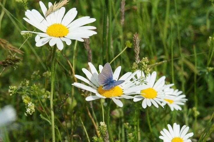 Het Blauwtje (vlindersoort)