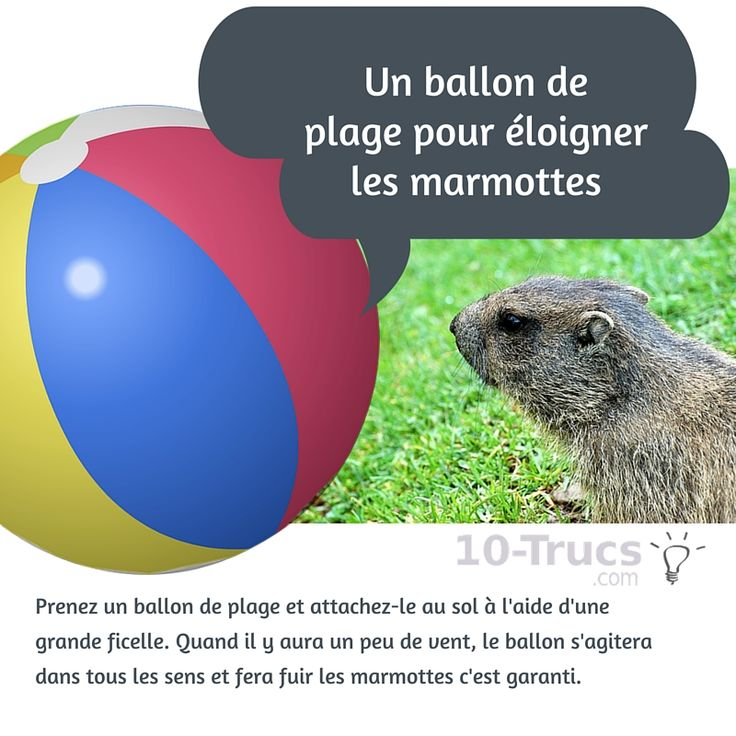 loigner les marmotte avec un ballon de plage animal insecte pinterest ballon d 39 or. Black Bedroom Furniture Sets. Home Design Ideas