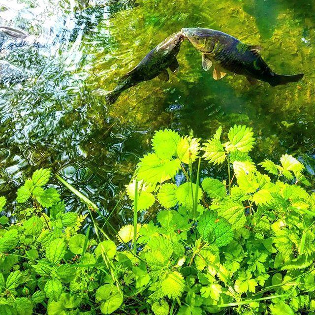 【namiaki810】さんのInstagramをピンしています。 《鯉…恋でしょうか。  #鯉 #池 #水辺 #森 #草 #木漏れ日 #波紋 #光 #輝き #自然 #風景 #雲場池 #carp #fish #pond #waterside #ripples #forest #grass #sunlight #green #lovenature #love #kiss》