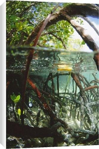 Mangrove roots by Robert Harding