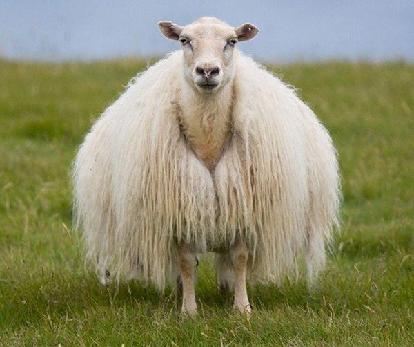 Первые поселенцы появились в Исландии из Норвегии примерно в 9-м веке. Они пересекли Атлантику в открытых лодках и привезли с собой овец и других домашних животных. С того же времени велась оживленная торговля овцами, шерстью и шерстяными товарами. Старейший вязаный предмет, найденный в Исландии — это простые вязаные шерстяные варежки, датируемые первой половиной 16-го века.