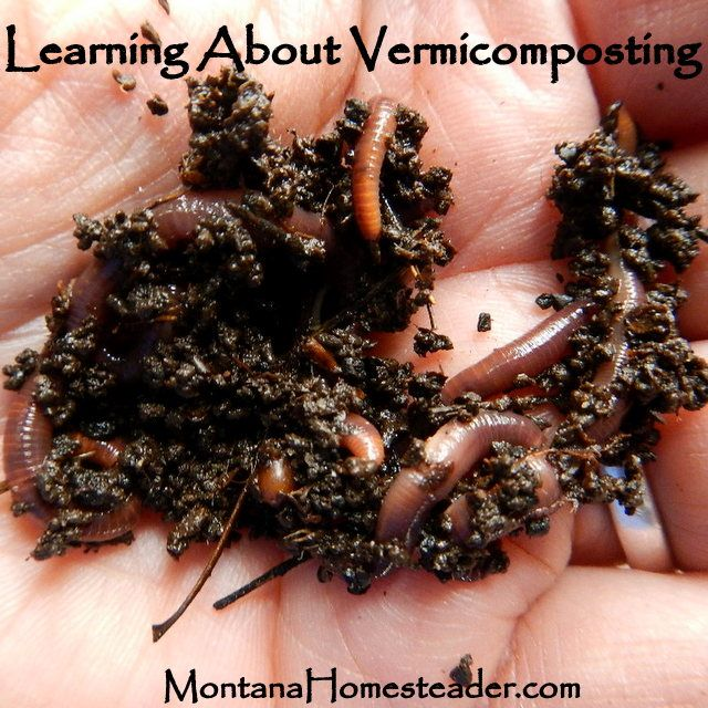 Learning about Vermicomposting and Raising Red Wiggler Worms- the fastest way to make compost at home! Montana Homesteader