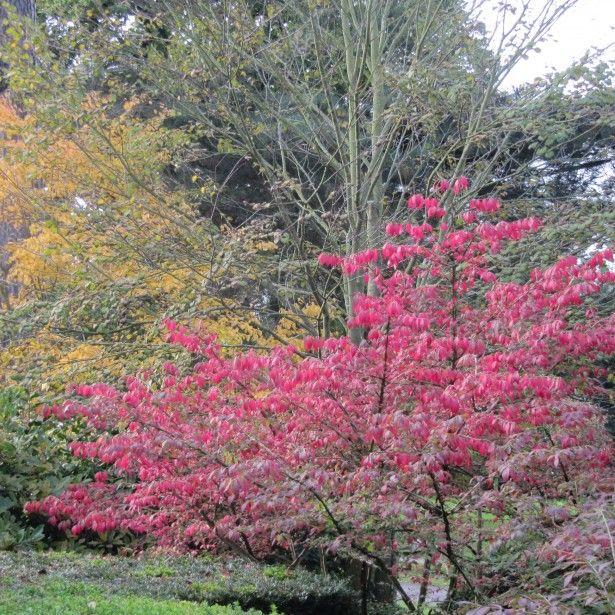 Euonymus alatus - Fusain ailé - Magnifique arbuste au feuillage rouge pourpre en automne