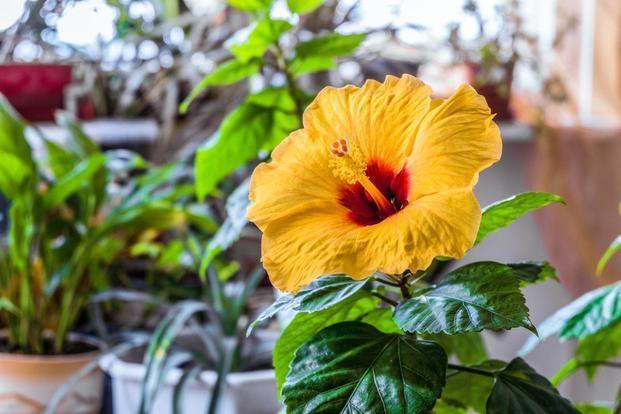Hibiskus Doniczkowy Uprawa Rozy Chinskiej W Domu Wymarzonyogrod Pl Hibiscus Plant Growing Hibiscus Hibiscus Bush