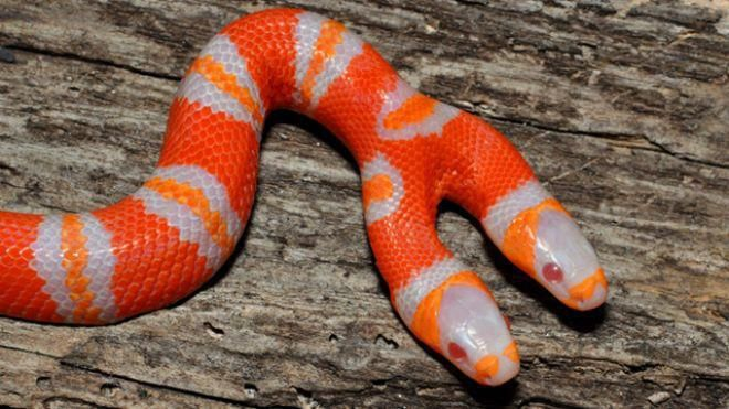Two-headed albino milk snake.  The heads act independently of one another, and will fight over food given the opportunity.