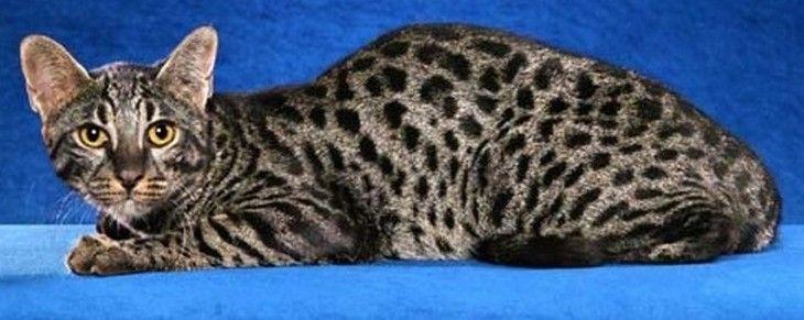 Gato Safari