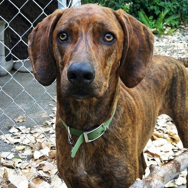 beautiful plott hound ...