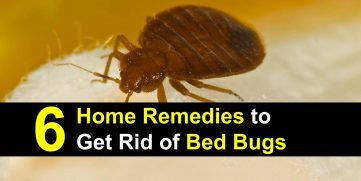 Can you see bed bugs? Yes. They're tiny, flat brown bugs. The flat part of their bodies fill with blood and turn red after they've fed.