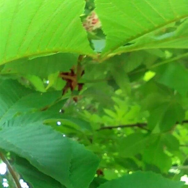 #blossom#flowerslovers#chestnut#kestane#naturebeautiful#flowers#May#Almaty#instaflower#instabeatiful#instavideo#орхидеи, там, и всякие цветы экзотические, конечно красивы. Но они какие то не родные , что ли. Каштан, около дома, ни чем не хуже! Красота , которая радует душу!)) http://gelinshop.com/ipost/1515797904207297222/?code=BUJMimvjrrG
