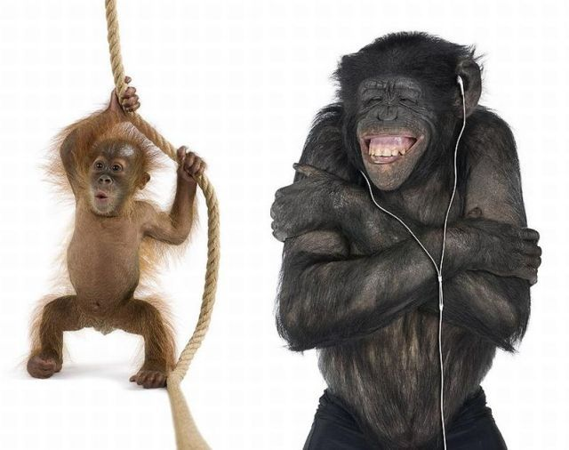 Monos graciosos: Ipod, Animal