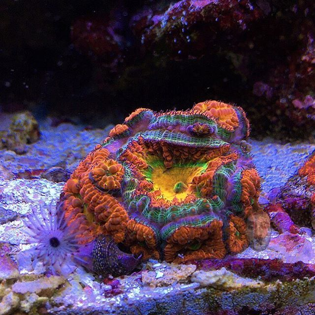 610 best reef tank lps corals images on pinterest reef for Fish tank deals