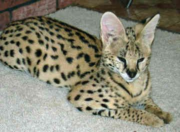 African Serval Cat | African Serval Cat