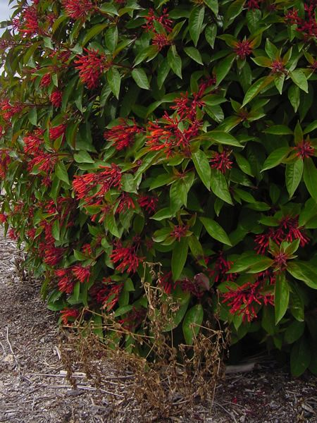 Fire Bush Attracts Butterflies And Hummingbirds