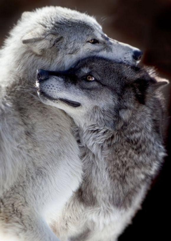 Wolf Love   por rarecollection.ch